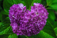 Flower power. Purple hydrangea green Stock Image