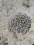 Flower power violeta Imagens de Stock Royalty Free