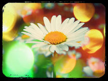 Flower power white disco daisy. A white daisy with colorful disco bokeh Stock Image