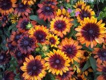 Flower. Powys garden plant Stock Image