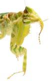 Flower praying mantis Royalty Free Stock Photo