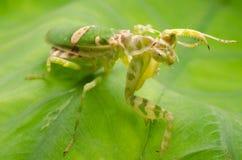 Flower praying mantis Royalty Free Stock Images