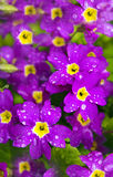 Flower Primrose. Flower Primrose long blooms in spring, in may and June royalty free stock photography