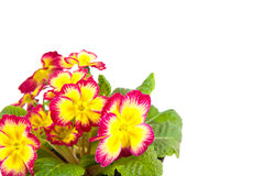 Flower primrose Royalty Free Stock Photography