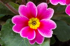 Flower of primula Royalty Free Stock Photography