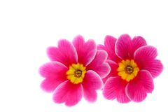 Flower of Primula Stock Image