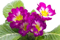 Flower of Primula Royalty Free Stock Images