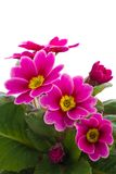 Flower of Primula Royalty Free Stock Photo