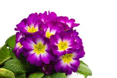 Flower of Primula Stock Photo