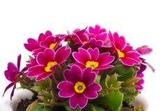 Flower of Primula. This is a photo of the flower of Primula Stock Images