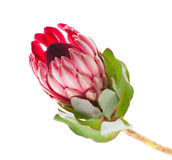 Flower Protea Sharon close-up on a clean white background. Flower Protea Sharon close up royalty free stock photo