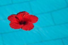 Flower in pul. Red flower, flower hibiscus, flower floating in blue water Royalty Free Stock Images