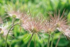 Flower Pulsatilla Stock Photography