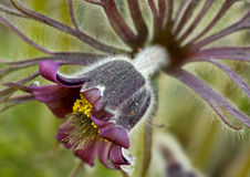 Flower of an pulsatilla patens Stock Photos