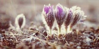 Flower pulsatilla patens  blooms. Purple flower pulsatilla patens  blooms on a hillside in the early spring Royalty Free Stock Image
