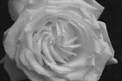 Creamy Purity. Flower of pure white large-flowered rose John Paul II, black and white photo Stock Photo