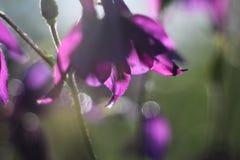 Flower of purple Aquilegia. Aquilegia's purple flowers on the bush Royalty Free Stock Images