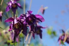 Flower of purple Aquilegia. Aquilegia's purple flowers on the bush Stock Photos