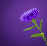Flower purple Royalty Free Stock Image