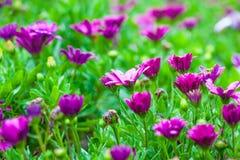 Flower purple background Royalty Free Stock Image