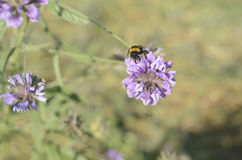 Flower purple and bee. Nature, day, summer Stock Image