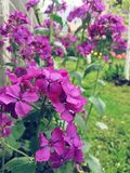 Flower. Purple beutiful flowers Stock Photo