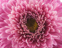 Flower purple chrysanthemum Royalty Free Stock Images