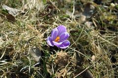 Flower purple crocus Stock Image