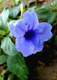 Flower. Purple flowers in  a garden Royalty Free Stock Image