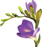Flower purple freesia one branch. Vector illustration stock illustration