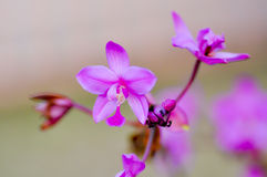 Flower. Purple ground orchid flowers in the garden Royalty Free Stock Photos
