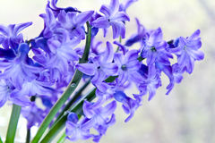 Flower purple hyacinth macro closeup Royalty Free Stock Photos