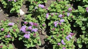 Flower purple. Image was shot in Burgas Bulgaria stock video