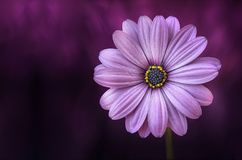 Flower, Purple, Lical, Blosso Stock Image