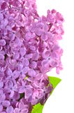 Flower of purple lilac Royalty Free Stock Photography