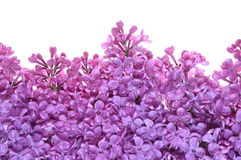 Flower of purple lilac Stock Images