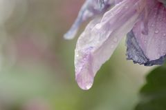 Flower, Purple, Lilac, Petal Stock Photo