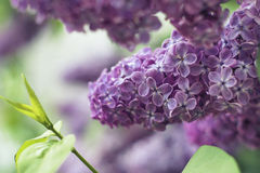 Flower. Purple lilacs and green leaves royalty free stock photography