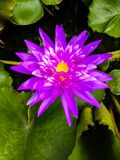Flower. Purple lotus flower Royalty Free Stock Image
