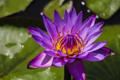 Flower of purple lotus. With highlights royalty free stock images