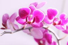 Flower Purple Orchid Bloom, juicy, young, close-up. Selective focus royalty free stock images