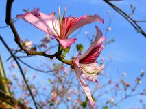 Flower of the Purple Orchid Tree (Bauhinia Variegata) Royalty Free Stock Images