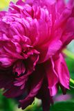 Flower of purple peony, blurred background. stock photography