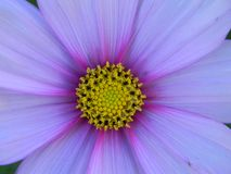 Purple flower with yellow center macro royalty free stock photo