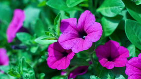 The flower of a purple petunia trembles on a wind stock video