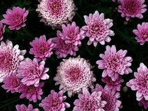 Flower, Purple, Pink, Violet royalty free stock images