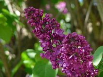 Flower, Purple, Plant, Lilac stock photo