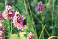 Flower purple pointed with stalk with bee Stock Photos