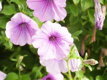 Purple. The flower in purple Stock Images