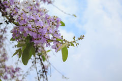 Flower purple on sky background. Flower purple in park on sky background Royalty Free Stock Images